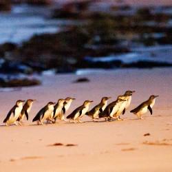 Phillip Island & Penguin Parade Day Tour